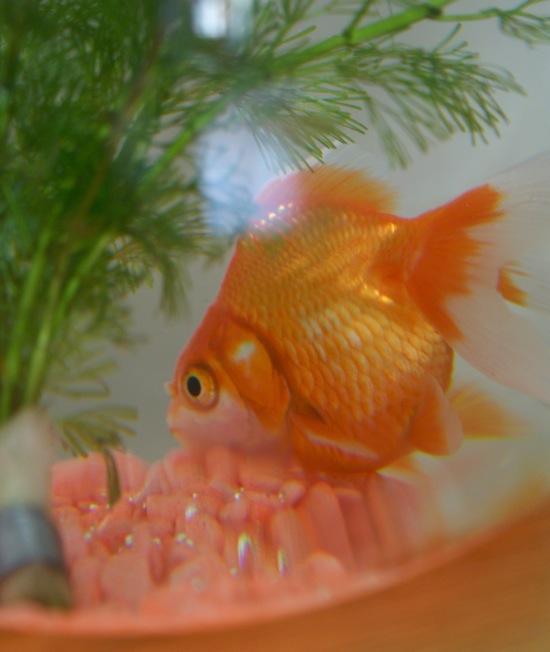 Le poisson rouge sois belle et parle l 39 ber vie de for Poisson rouge queue de voile