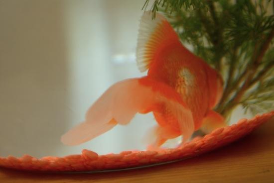 Le poisson rouge sois belle et parle l 39 ber vie de for Bocal poisson rouge