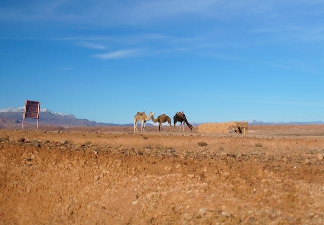 dromadaires-maroc-grand-sud